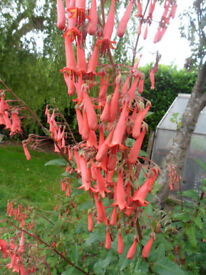 Cape Fuchsia plants Orange flowers - Pokesdown BH5 2AB