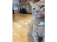 Missing ginger tabby kittybrewster/danestone area