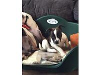 French bulldog x jack russel