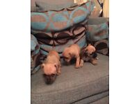 Stunning shar pei x staff puppies more pics will be added