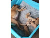 KC registered Labrador Puppies for sale