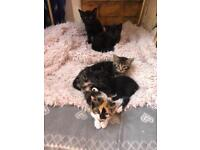 Kittens For Sale, 8 weeks old, males & females Very cute & litter trained