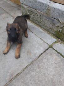 Belgian Shepherd pup