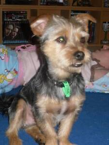 Free to good home Male silky terrier x desexed Capalaba Brisbane South East Preview