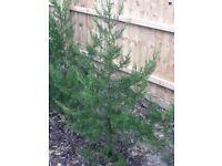 40, fast growing green Leylandii trees 7 foot to 5 feet tall