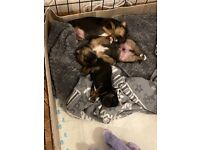 Jack russell pups-available end of August