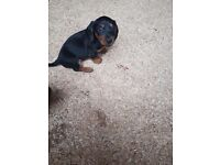 3/4 dachshund puppies for sale