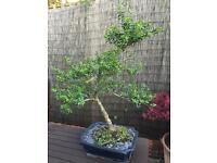 Bonsai Tree Large Flowering Japanese Holly