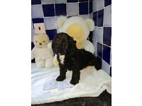 Outstanding Cockerpoos/Cockapoos for sale *only 2 left * 1 X tuxedo male 1 X petite girl