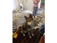 Siberian Husky Looking for loving home