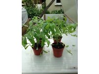 Tomato Plant Tumbling Tom 9 Plants for sale reduced to 50p