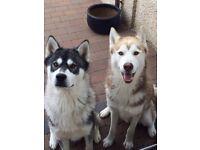 Siberian Huskies (not pups, husky) *FREE TO A GOOD HOME*