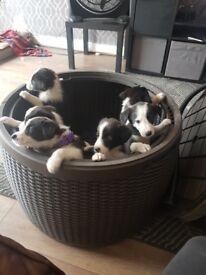 Border Collie Puppies. 2 girls, 4 boys.
