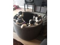 Border Collie Puppies. 2 girls, 4 boys.