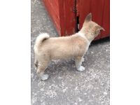 10 WEEK OLD AMERICAN AKITA FOR SALE!!!