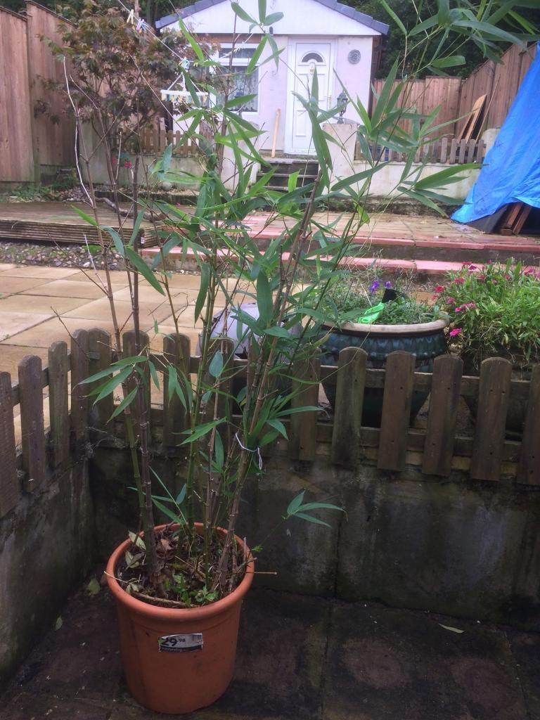 Phyllostatachys bamboo plant