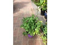 Astrantia Perennial Plant in pot for the garden