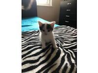 Adorable kitten for sale