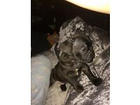 french bulldog male chocolate brindle chocolate sable and a lilac carrier