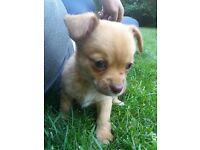 Chihuahua x Pomeranian Puppy