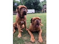 Dogue de Bordeaux puppies currently 3 weeks old