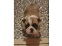 British bulldog pups for sale sired by Irish Champion