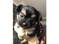 Girl chihuahua puppy