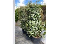 3 x large Elaeagnus hedging plants / shrubs