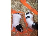 Jack Russell puppy's for sale two bitches mum and dad con be seen ready in 6weeks