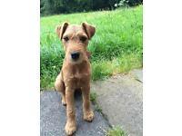 Missing Lakeland terrier