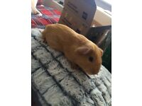 Male Guinea Pig with full set up
