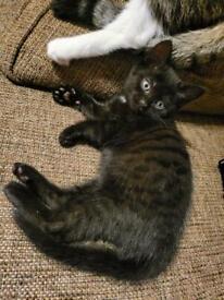 (Urgent) 1 girl 1 boy Half Tabby half Persian kittens