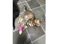 Rarebreed nebulung/ British short hair kittens