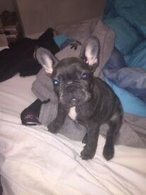 French bulldog blue kc reg