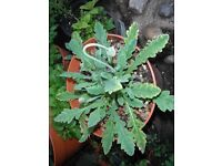 Iceland poppy plants with flower buds in a 24 cm plastic pot