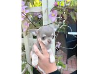 KC reg Outstanding Rare Lilac Boys Chihuahuas