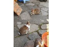 15 Rabbits for sale