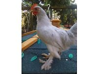 Young male silkie cross chicken