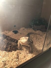 Male bearded dragon, vivarium and accessories