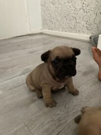 French bulldogs,outstanding bloodlines,4girls 2 boys