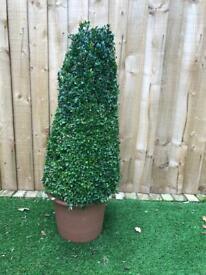 Topiary Buxus Plants x 2