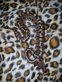 Cb17 hgw yellow belly female royal python