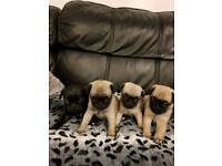 3x Beautiful Fawn Pug X Puppies (CHUG) FOR sale ***ONLY 1 GIRL LEFT***