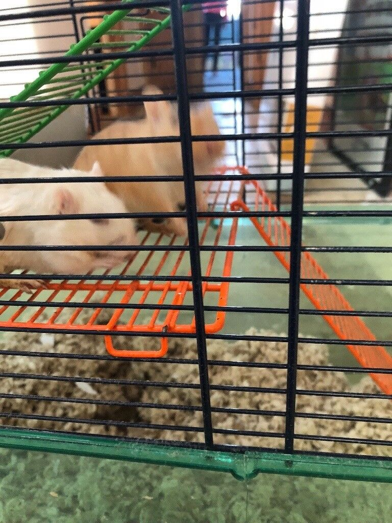 Free - 4 Gerbils need a new home (with cage/food)  | in