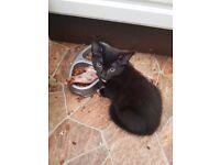 Pure black female kittens