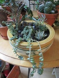 SUCCULENT GARDEN IN POT DECORATED WITH LIZARDS ~ PLANTS ~ CACTI ~ CACTUS ~ SUCCULENTS ~ £25