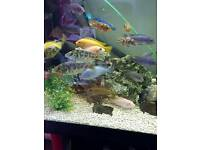 Cichlids for sale, job lot, closing down tank