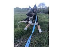 Collie x German Shepherd puppy