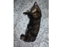 MISSING OR STOLEN 5 month old kitten