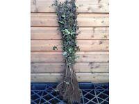 Black Thorn hedging